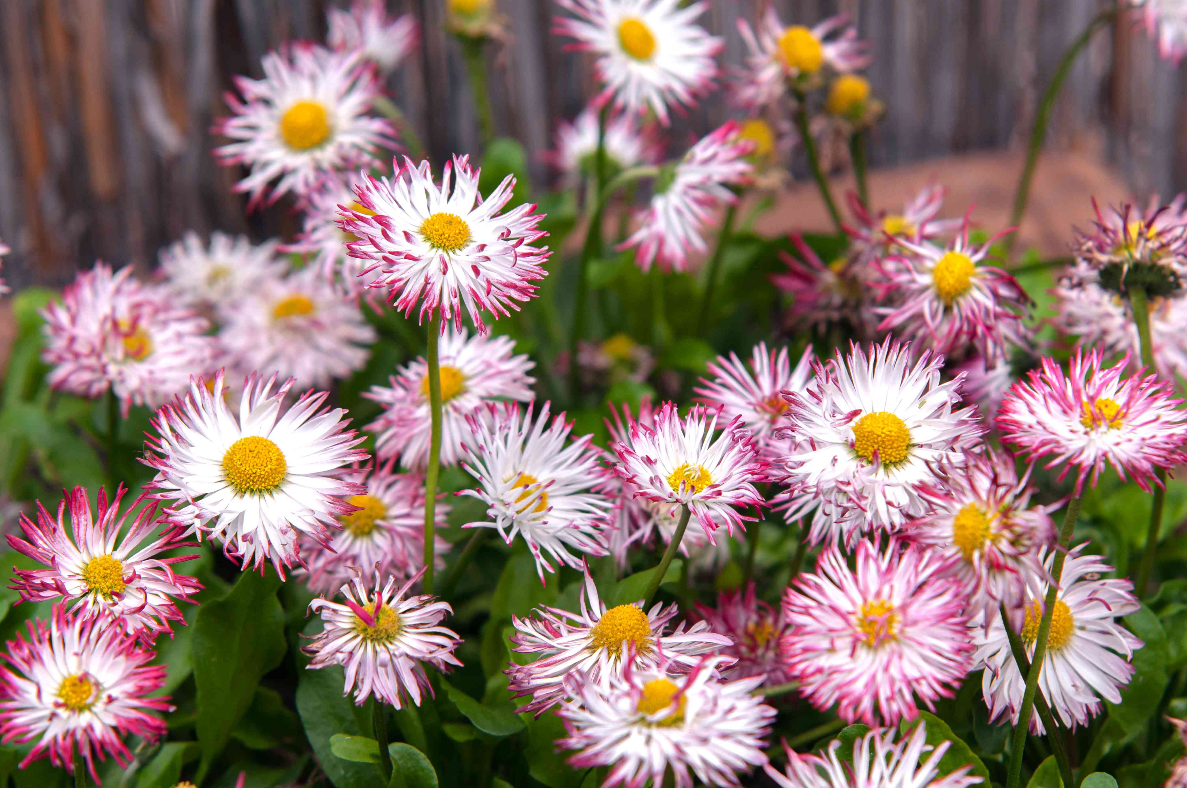 English daisies with white flowers and pink tips