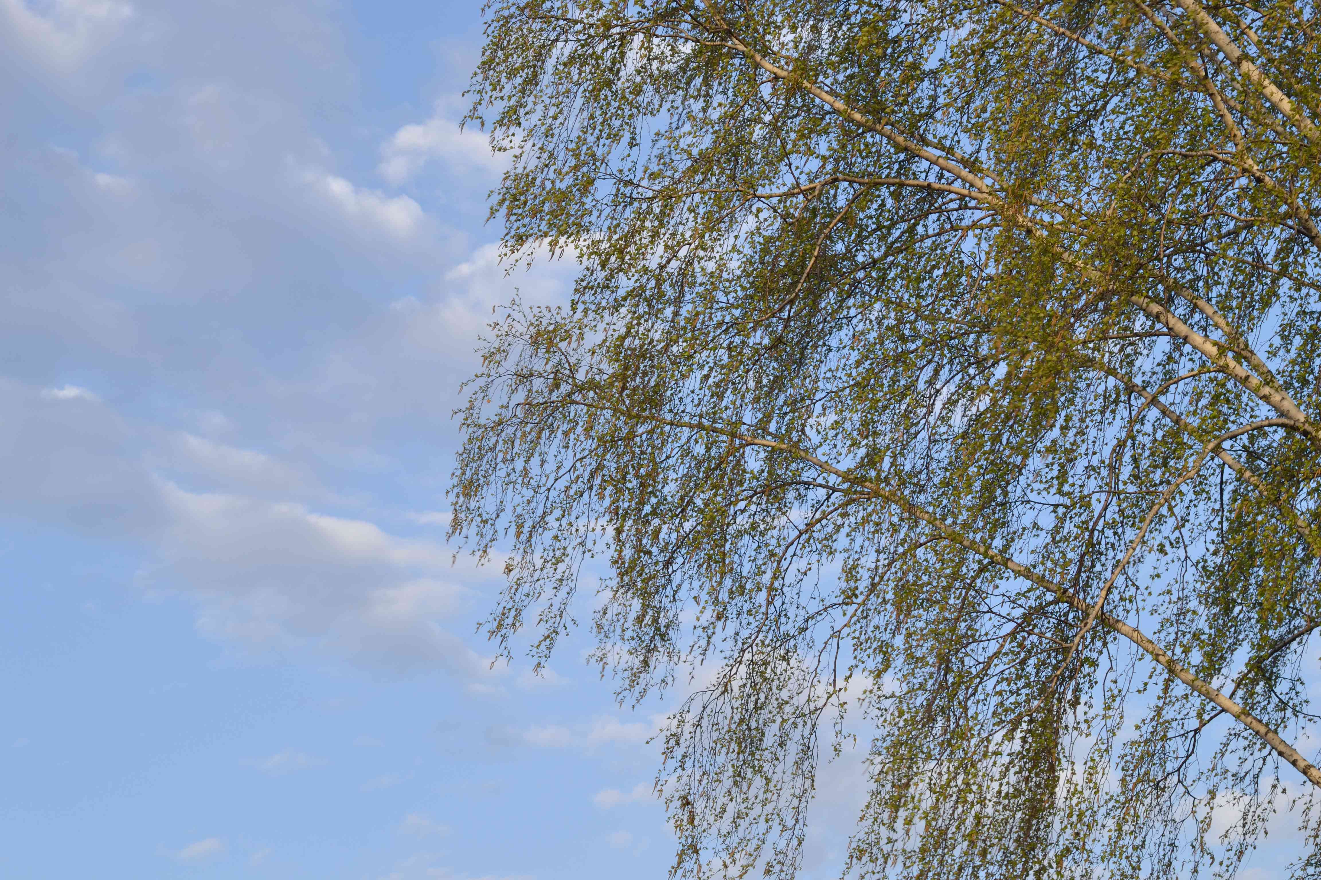 Thin birch branches with small green leaves against the cloudy sky.
