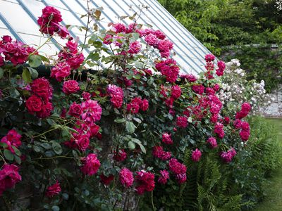 9 Vibrant Climbing Roses To Add Your Garden