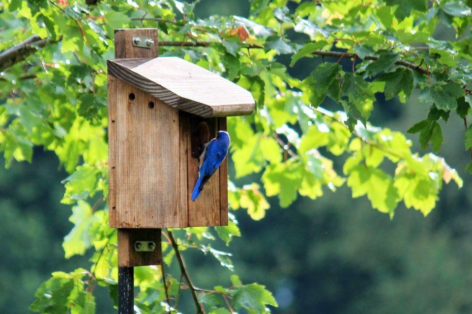 Bluebird at house