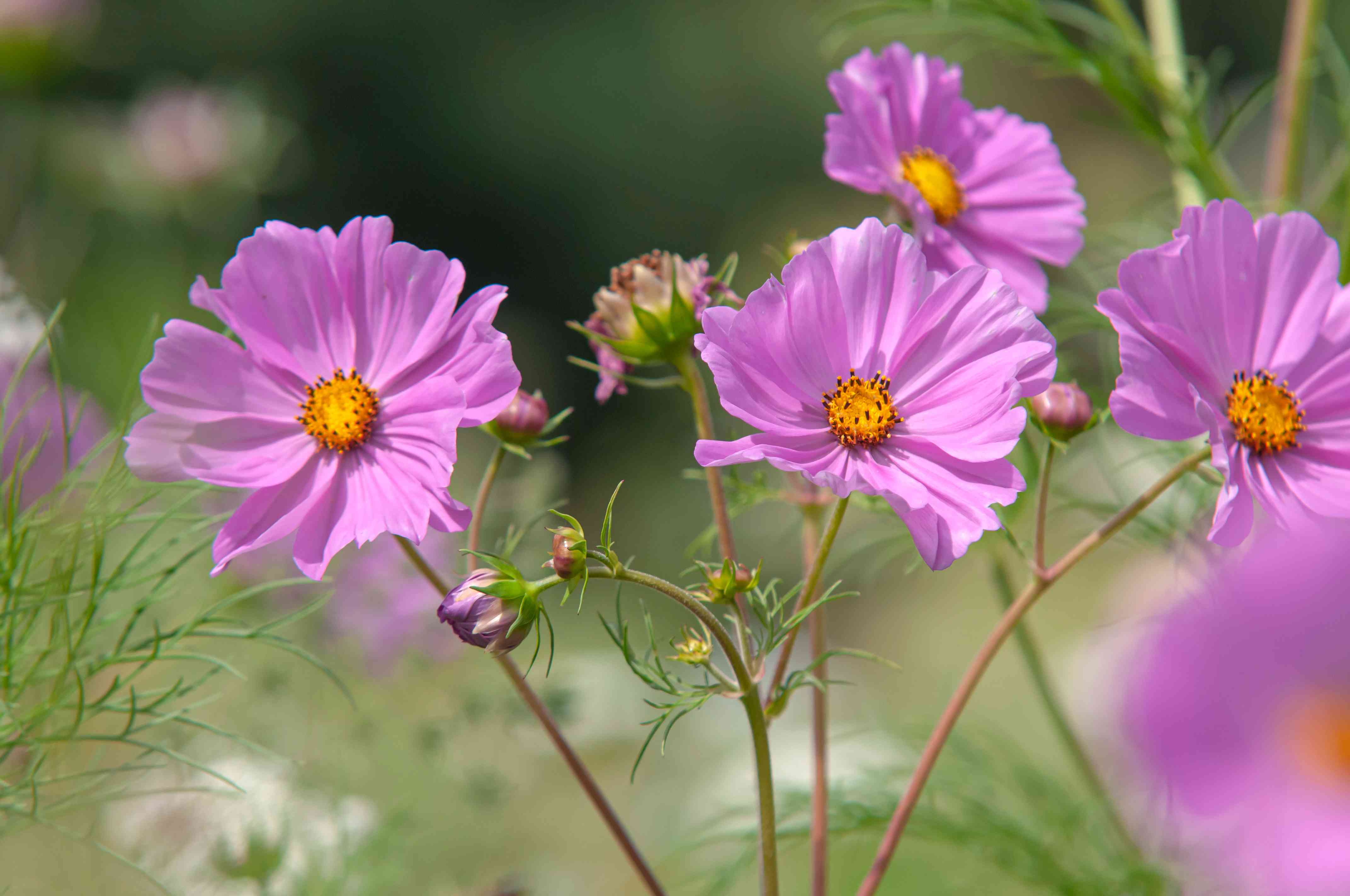 Pink cosmos flowers with yellow centers and buds on thin stems closeup