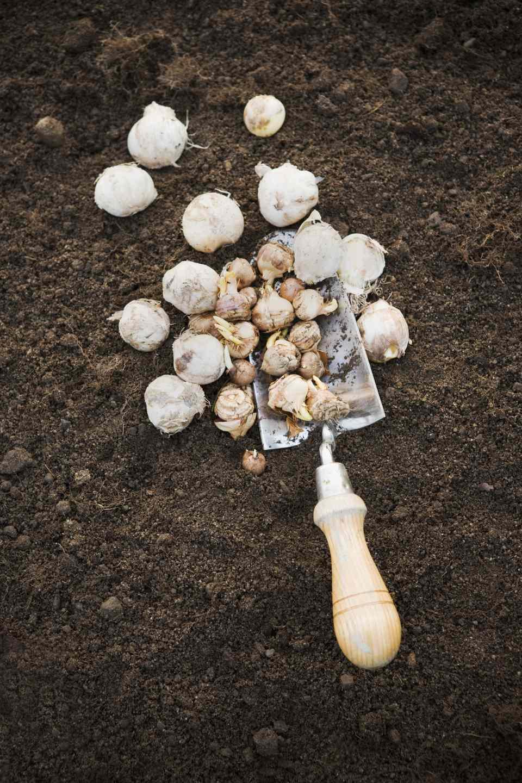 High angle view of garden spade with bulbs