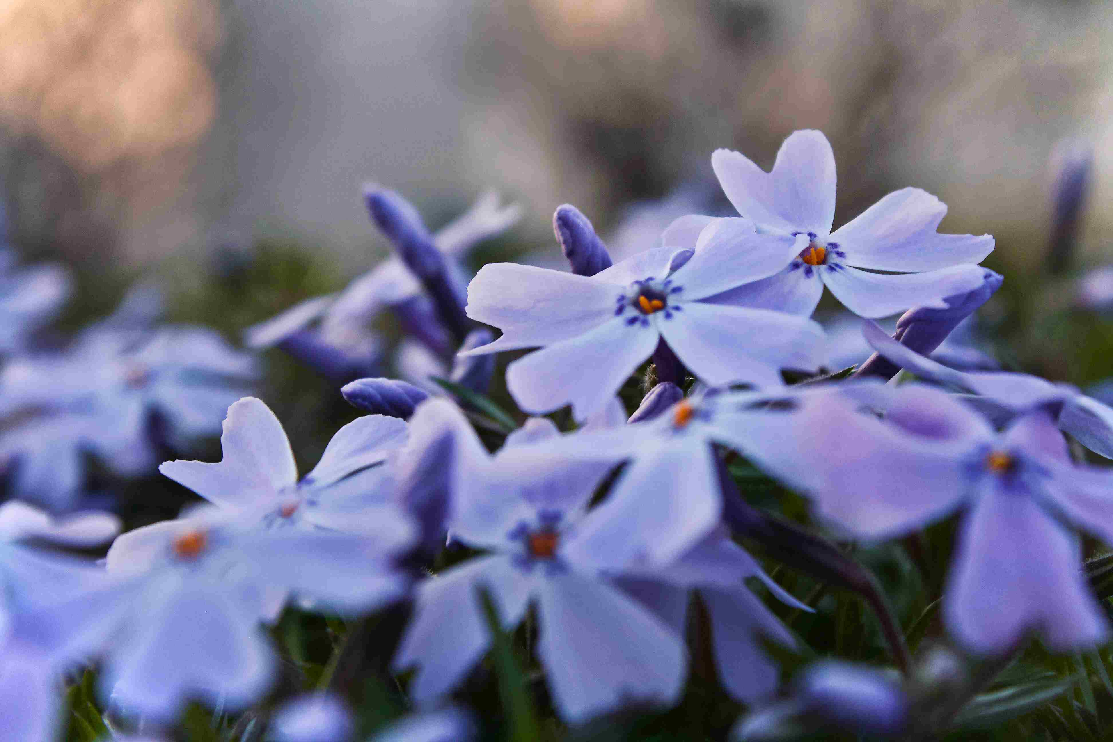 Purple phlox fowers