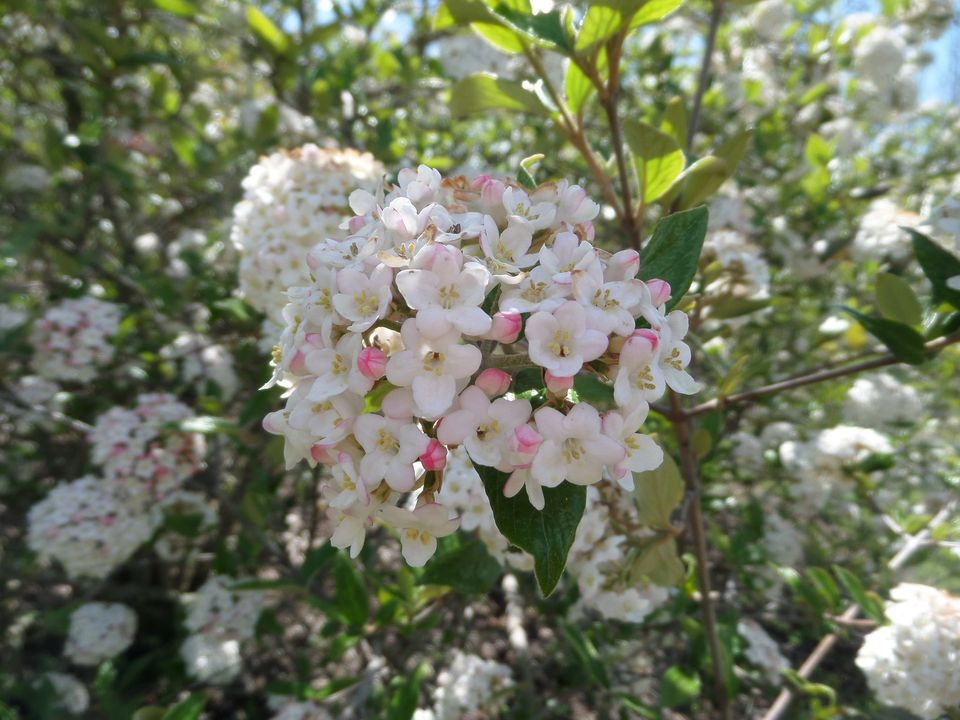 White flower plants that are part of the viburnum genus flowers on a burkwood viburnum come in clusters mightylinksfo