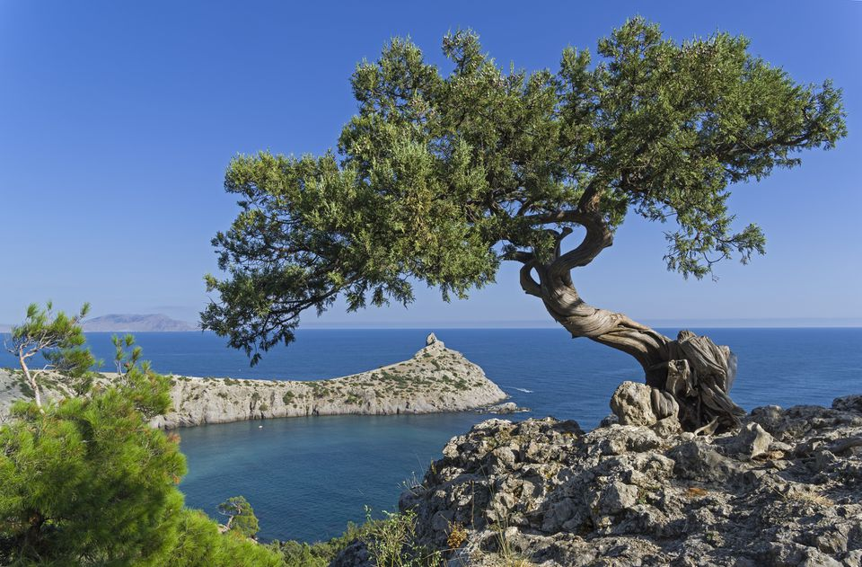 Greek Juniper Tree overlooking the sea