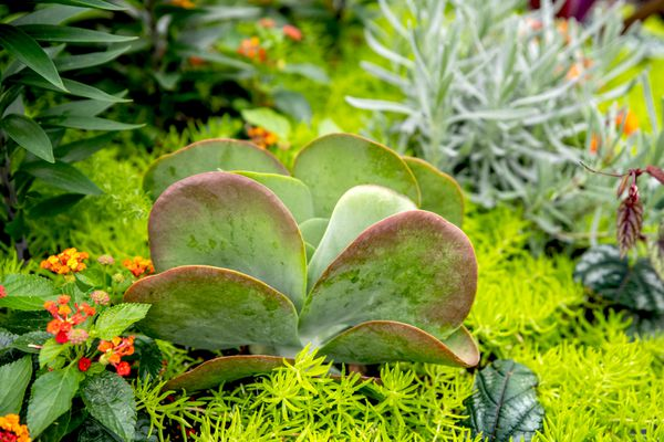 Succulent with rounded red and green leaves surrounded by companion plants in garden