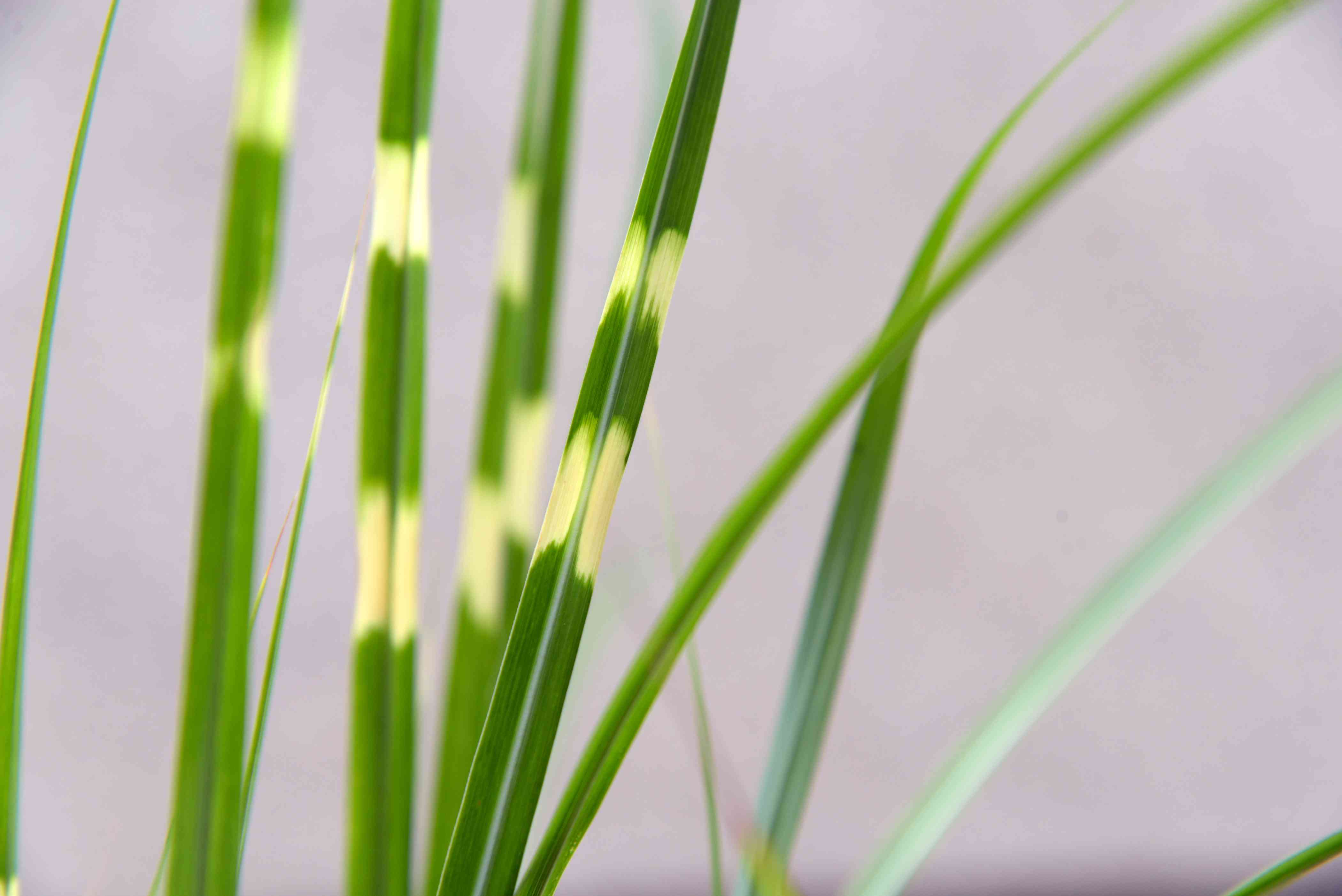 Zebra grass plant blades with variegated golden and green stripes closeup