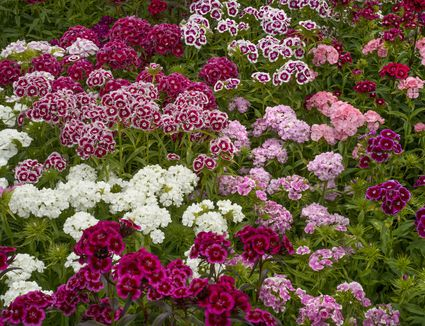 What is a perennial flower or plant cottage pinks add spice to flower borders perennial plants mightylinksfo