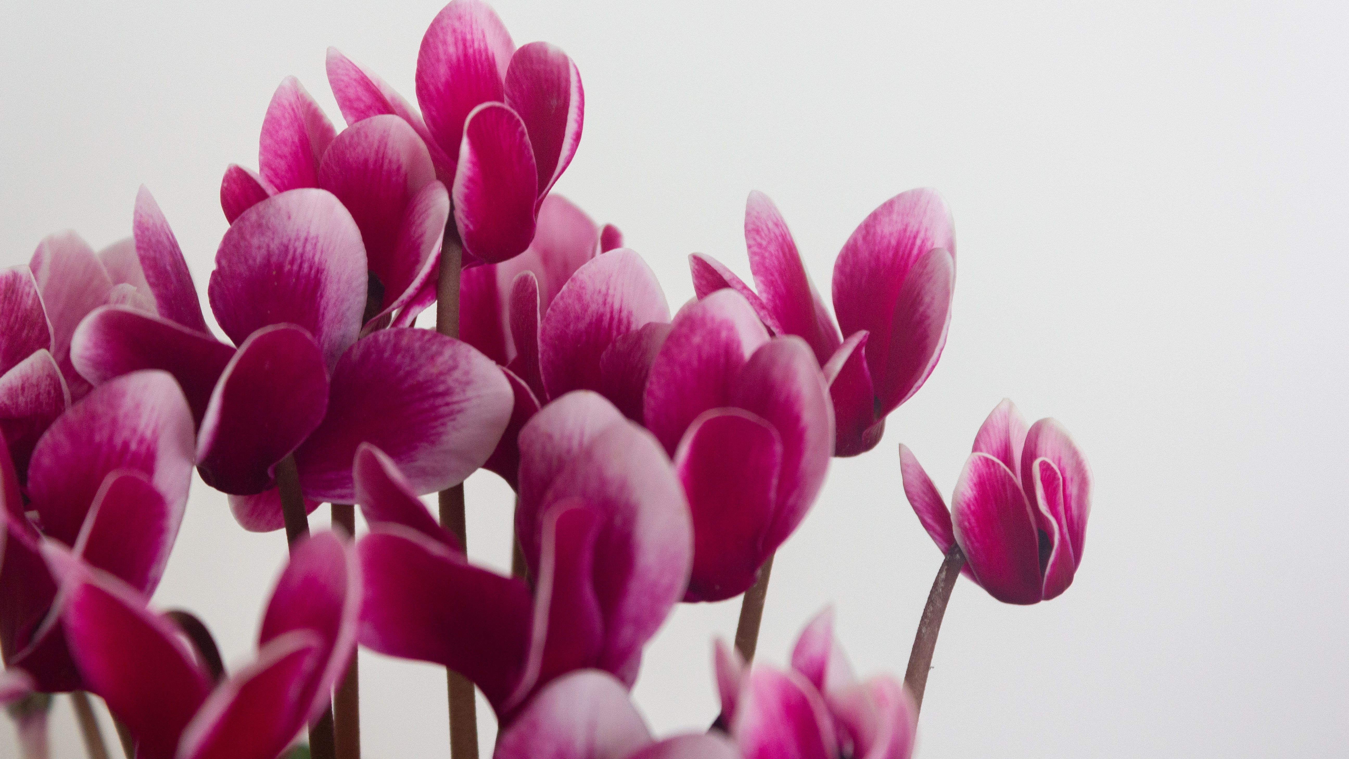 How To Grow And Care For Miniature Cyclamen