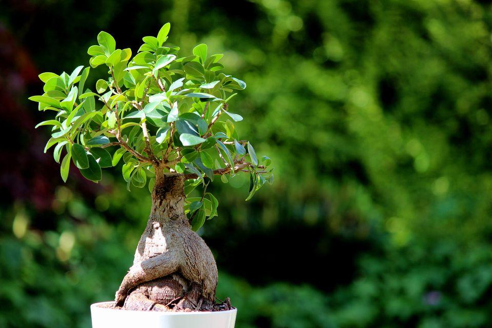 Ginseng Fig bonsai tree plant white flower pot