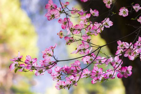 Pink dogwood trees how to grow cornus florida pink flowering dogwood tree branch with blooms mightylinksfo