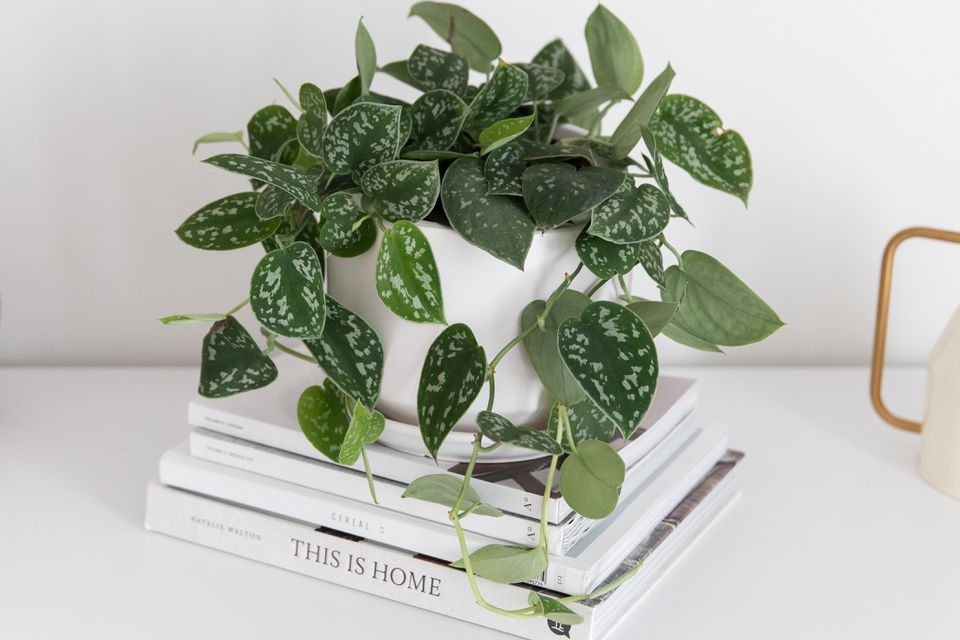 Satin pothos with spotted leaves in white pot on stacked books