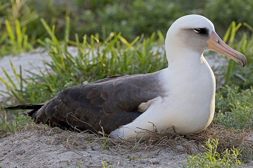 wisdom albatross