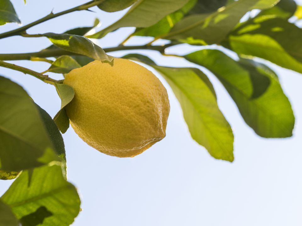 Close up of the leaves and fruit of the Lisbon Lemon Tree