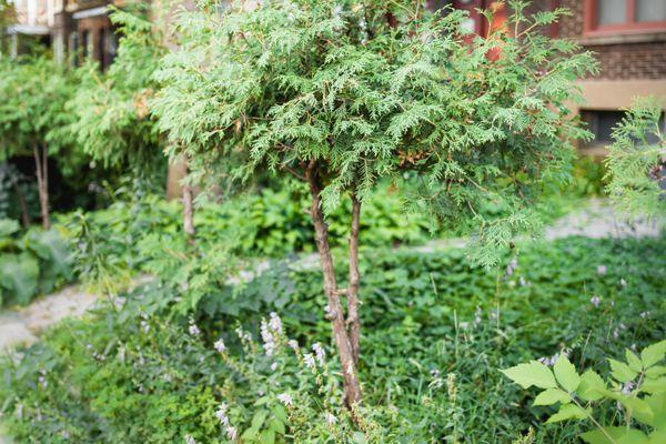 dwarf cypress tree