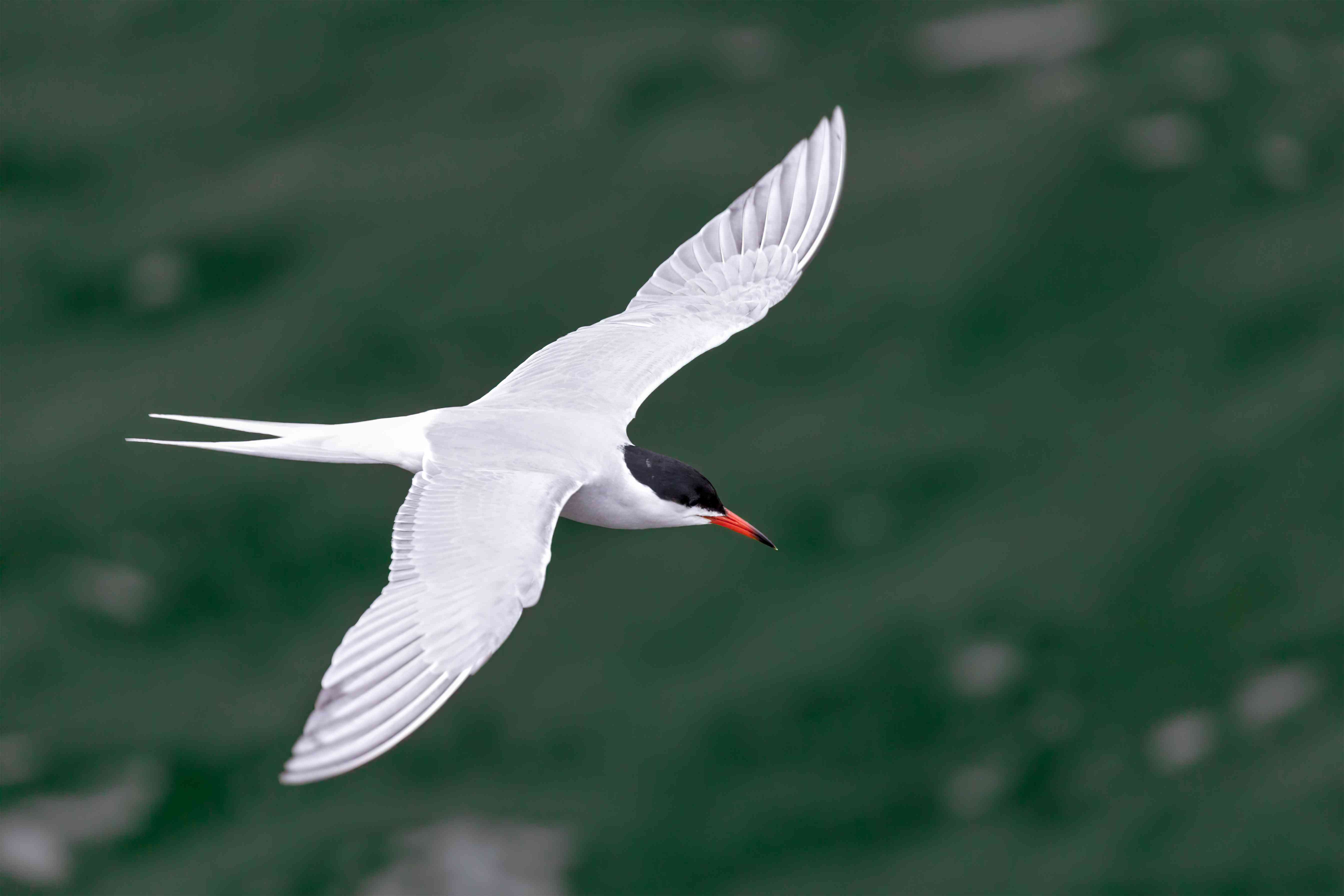 Common Tern Flying Over Water