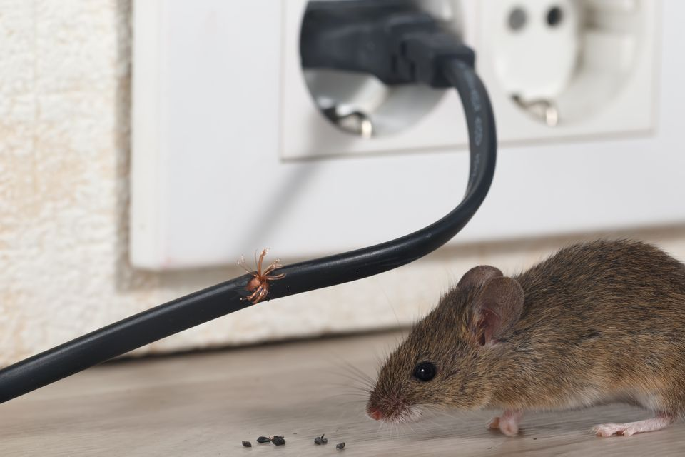 Closeup mouse sits near chewed wire in an apartment kitchen on the background of the wall and electrical outlet . Inside high-rise buildings.