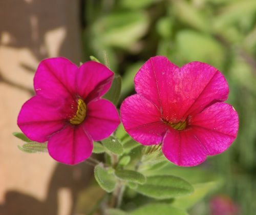 Pictures of pink flowers picture of pink million bells petunia calibrachoa mightylinksfo