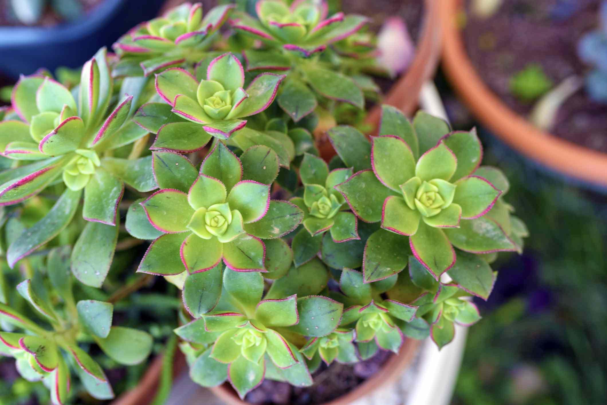 Aeonium Kiwi succulent plant in flower pot.