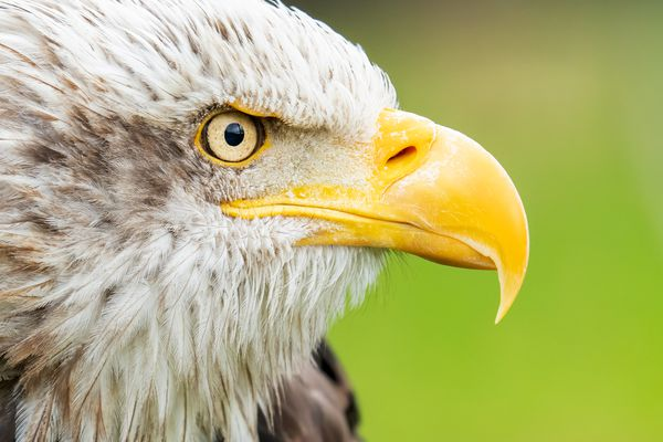 American bald eagle with yellow beak close up
