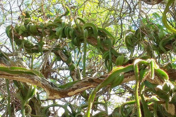 A large, mature Dog Tail Cactus winding around a tree