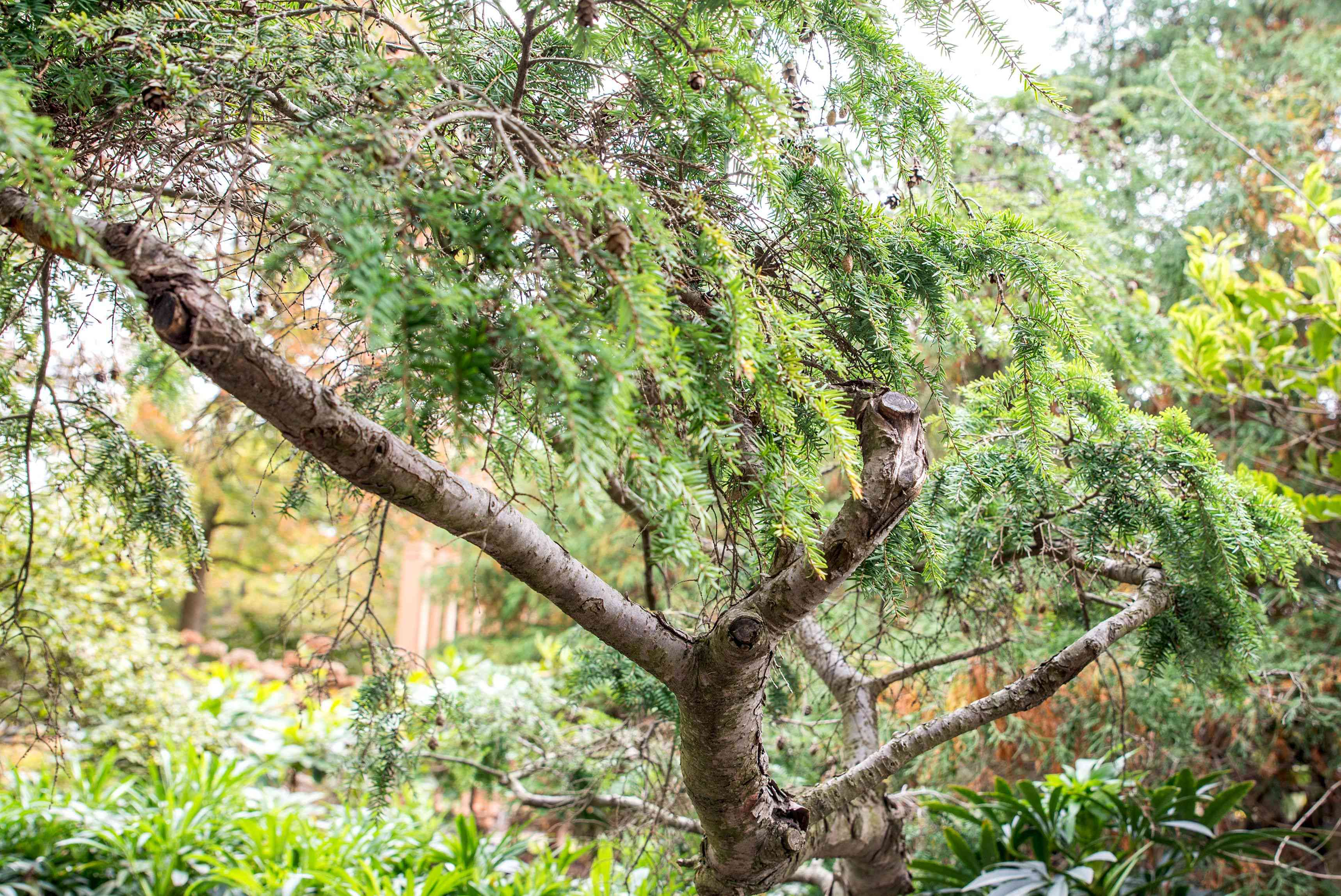 Eastern hemlock landscape tree with large and thick branches and small lacy and needle-like leaves