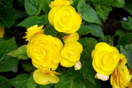 11 best flowers to use in hanging baskets tuberous begonias mightylinksfo