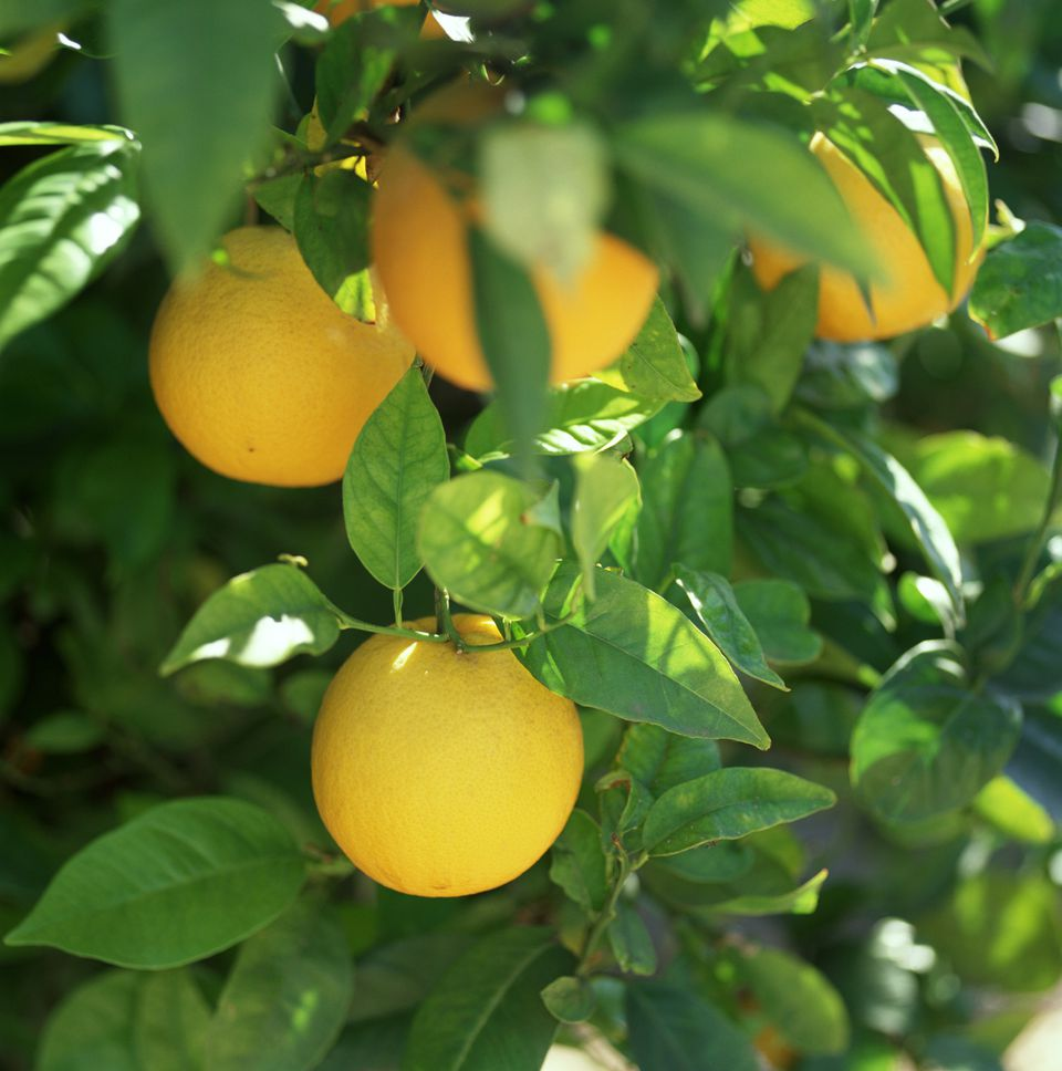 Looking to grow fresh lemons of your own? Learn to care for the lemon tree in this helpful guide.