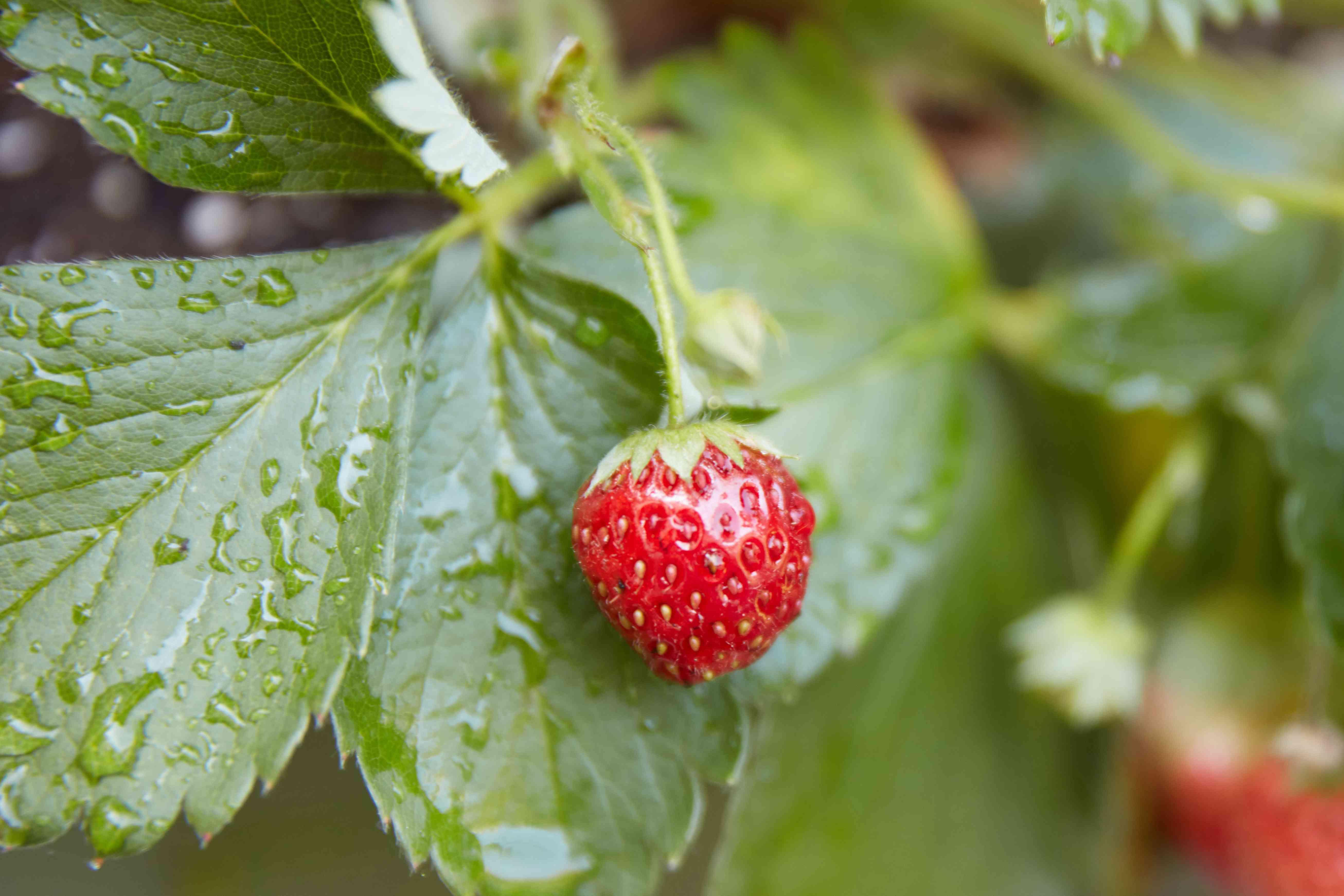 nearly ripe strawberry