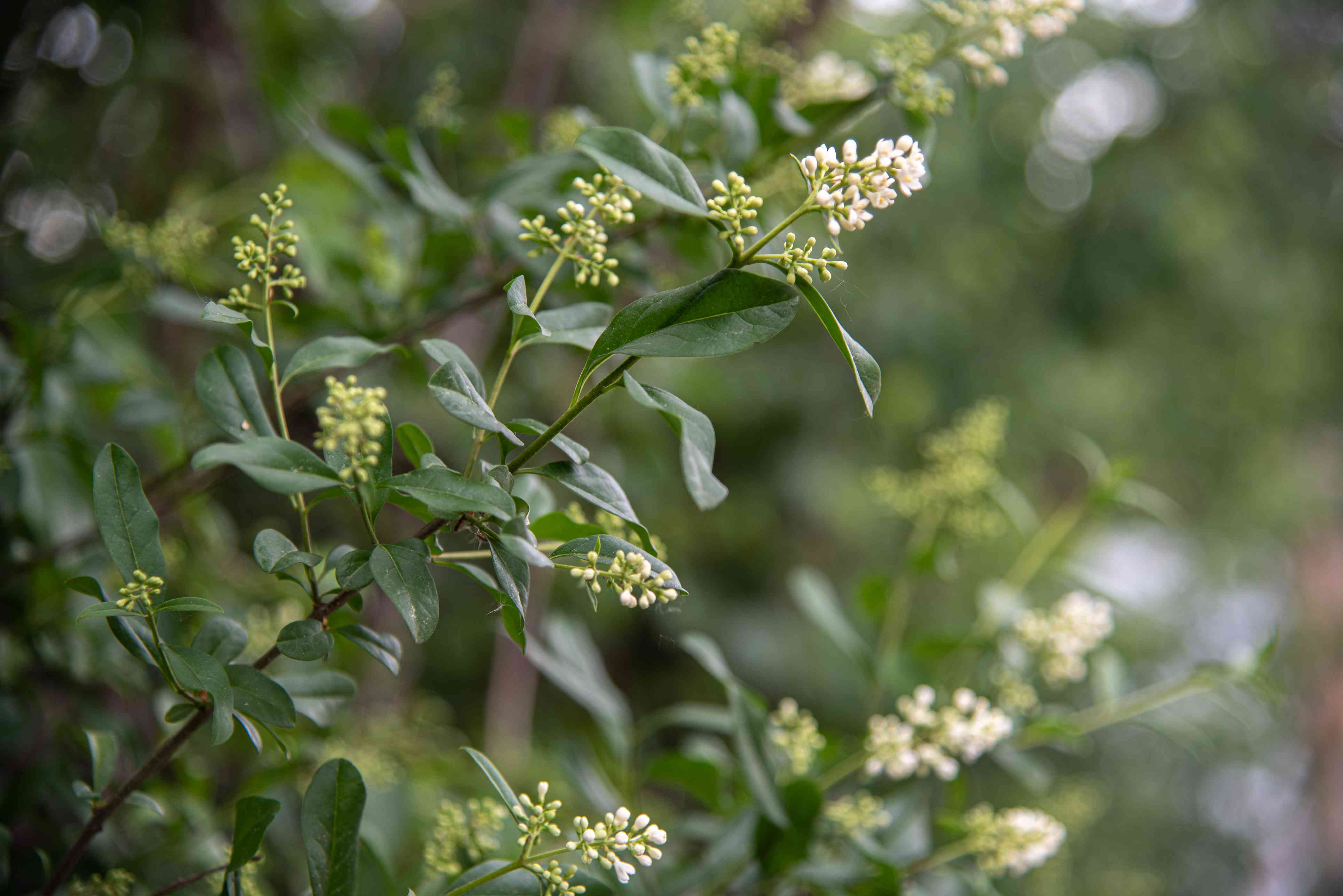 Privet hedge stems with small white flower panicles and buds surrounded by leaves