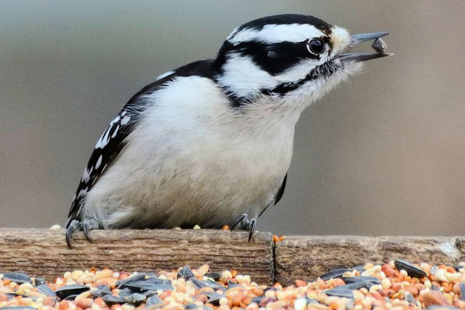 Downy Woodpecker Eating Birdseed