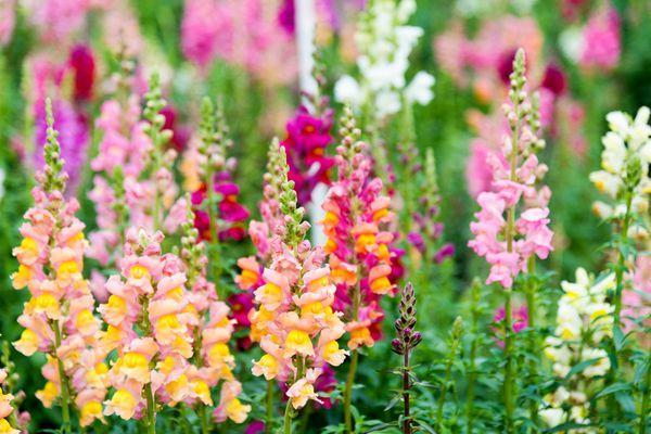 Snapdragon flowers in a garden