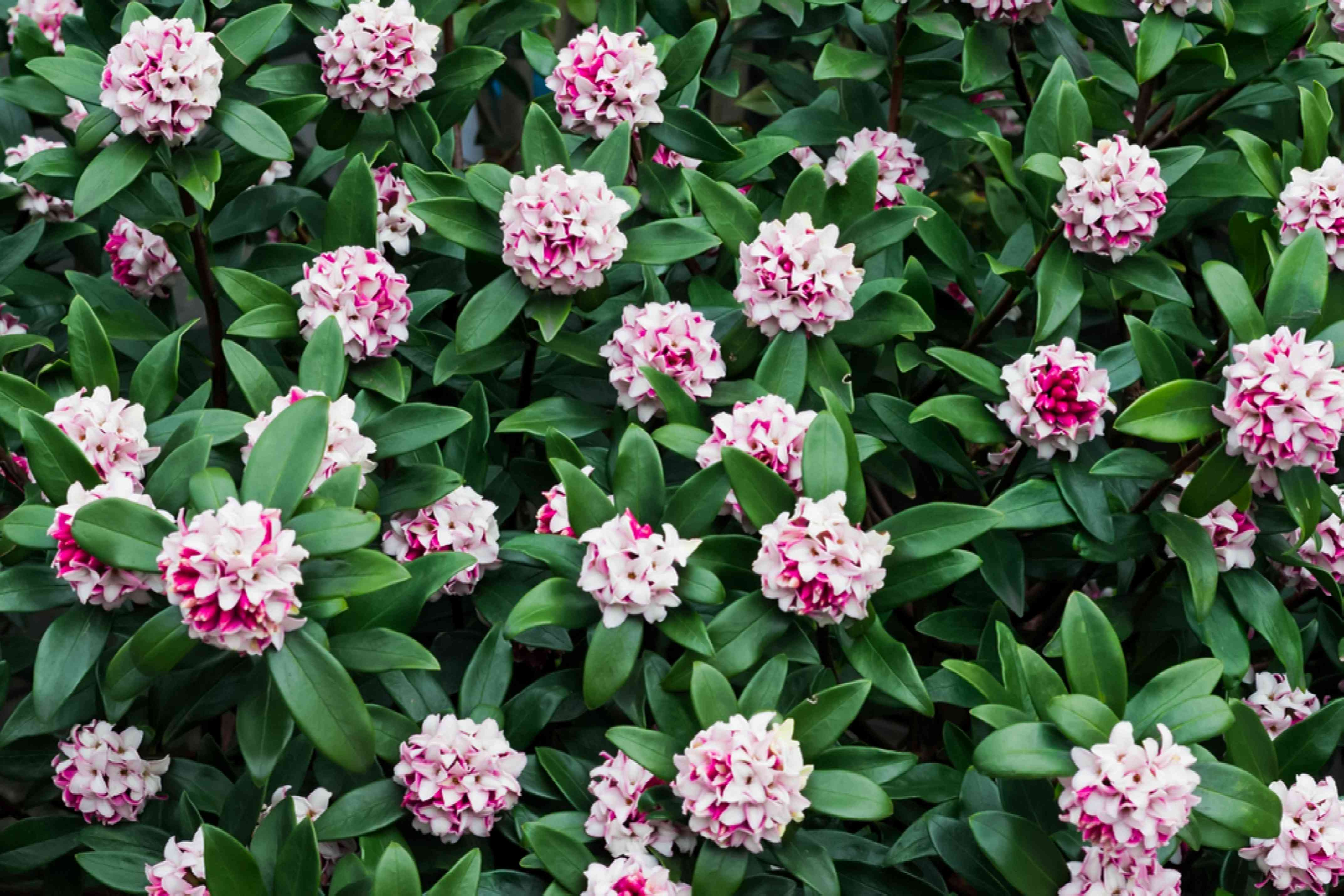 Landscape of daphne shrub with white and pink flowers