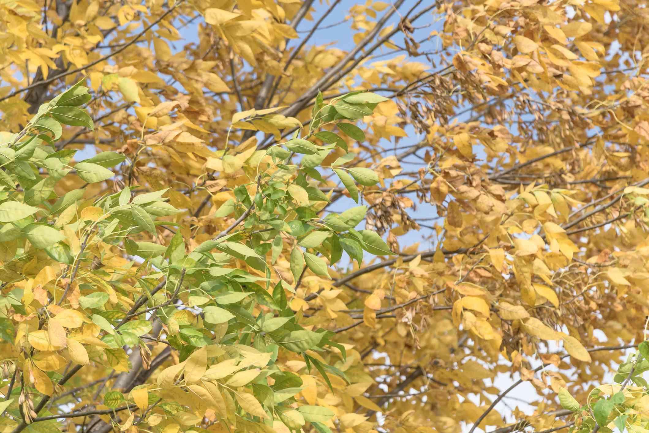 Green and yellow cedar elm leaves