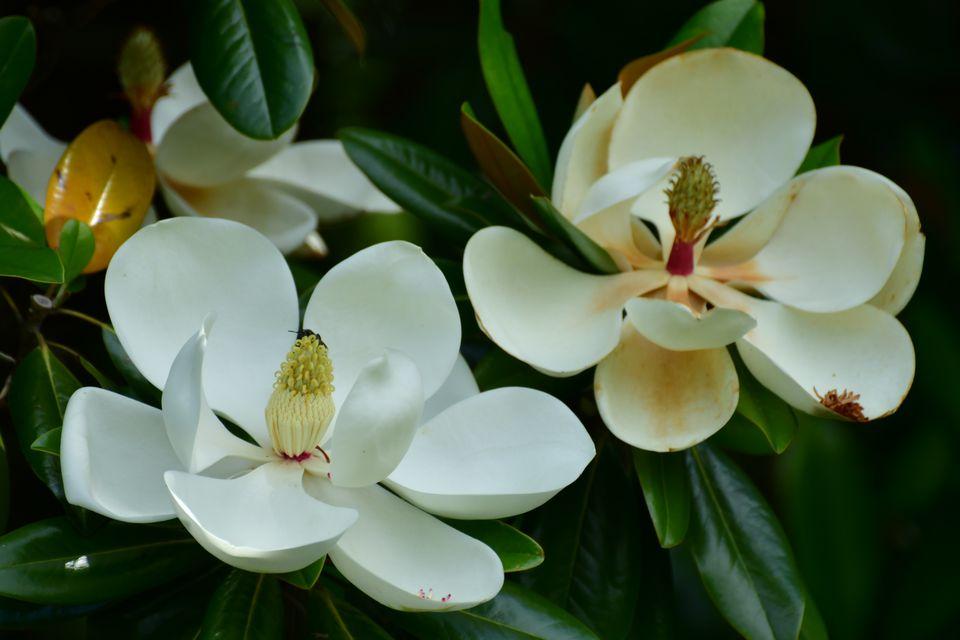Magnolia grandiflora / Southern Magnolia