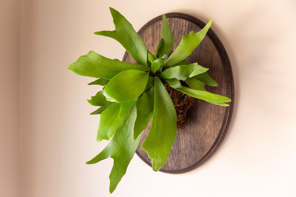 staghorn fern on a wall