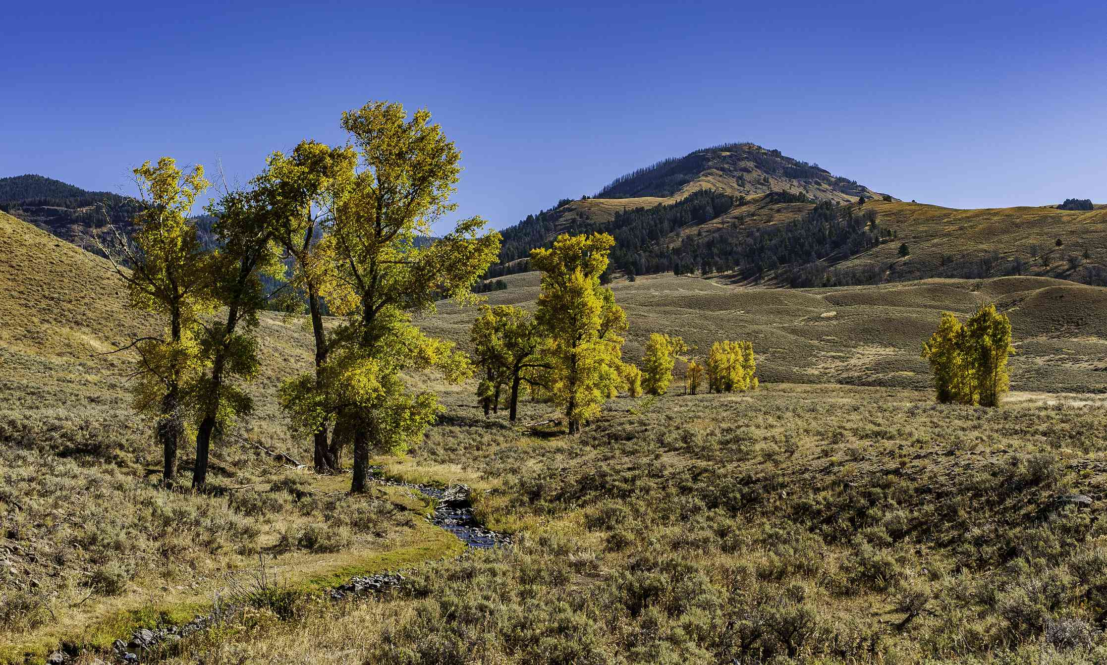 Populus angustifolia in Yellowstone National Park