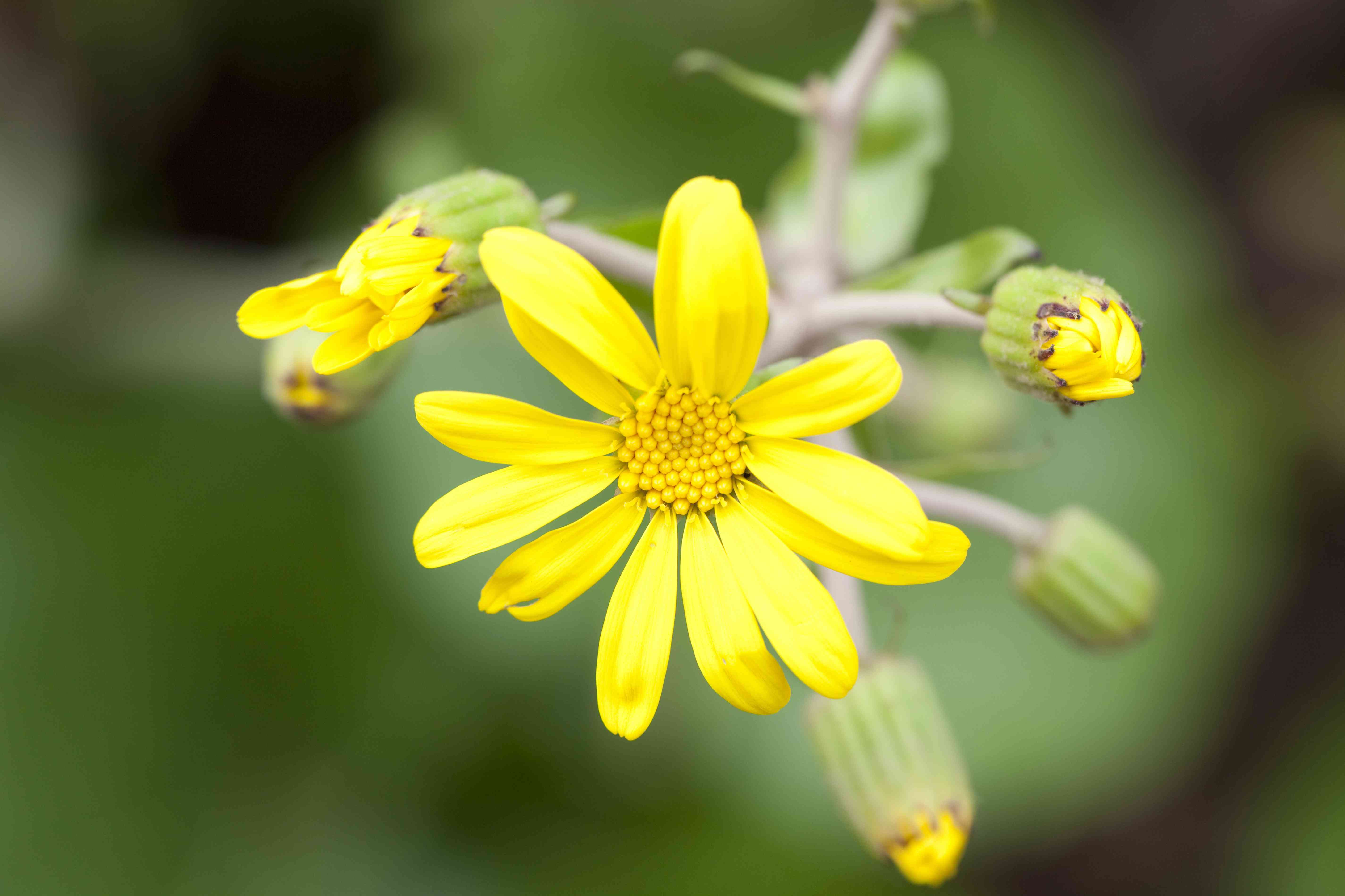 Flowers of Leopard Plant