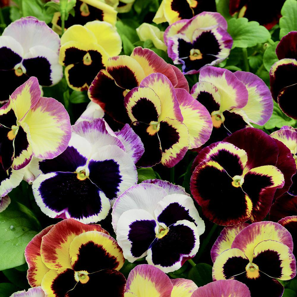 Delta Rose Surprise Pansy