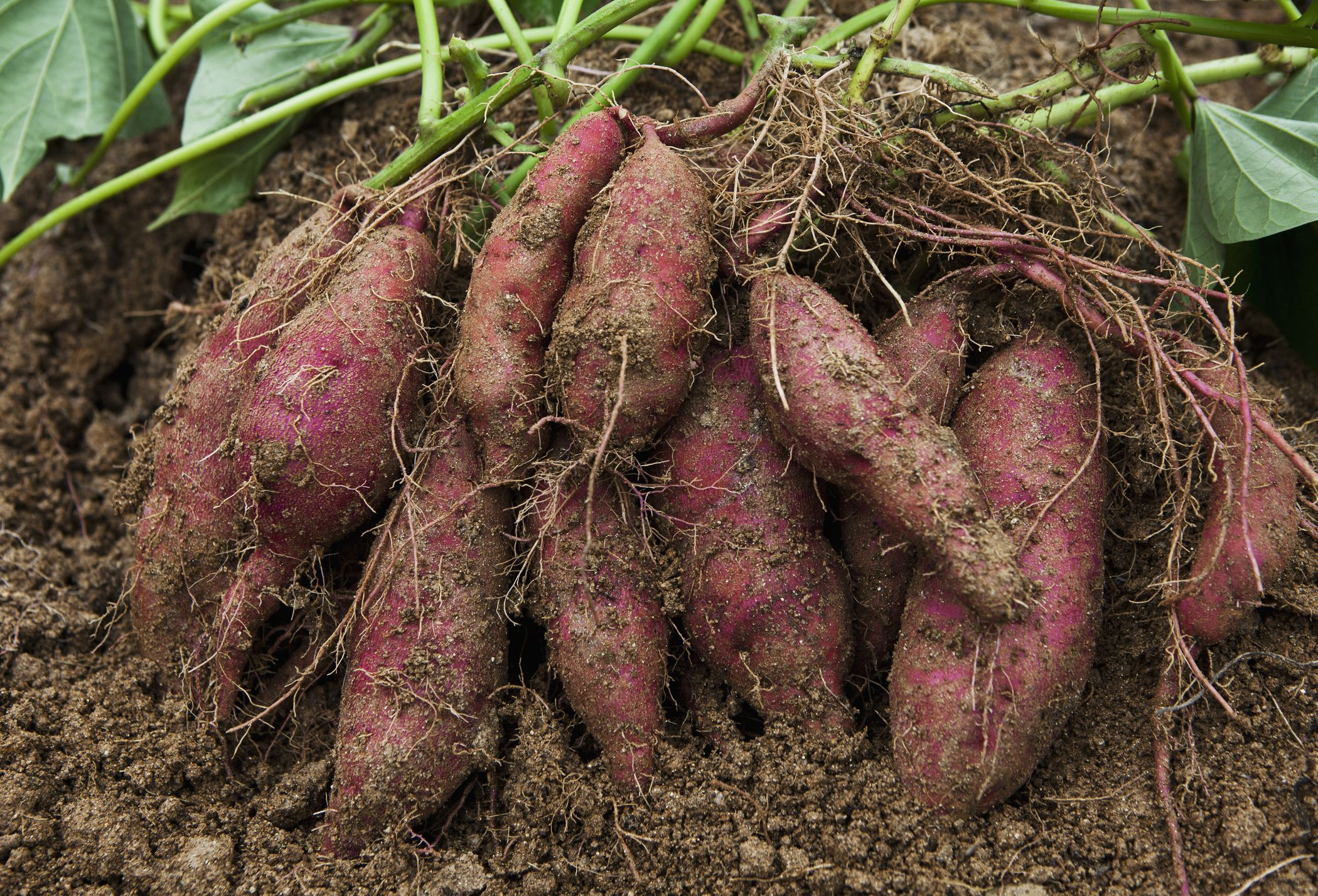 How to Grow Sweet Potatoes in a Home Garden