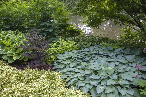 Low lying plants growing underneath evergreen tree near pond