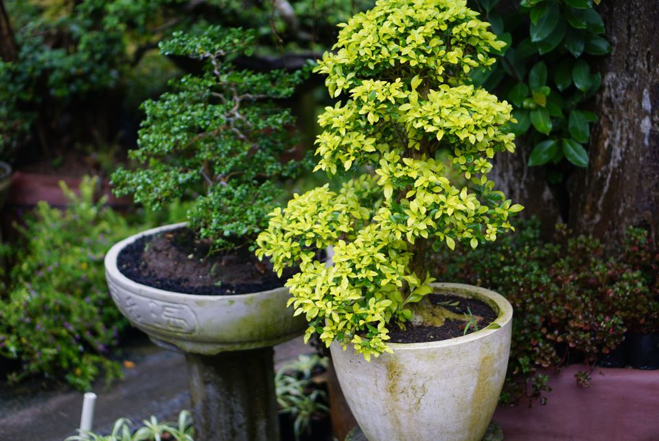 A small light green tree and darker green shrub in white pots