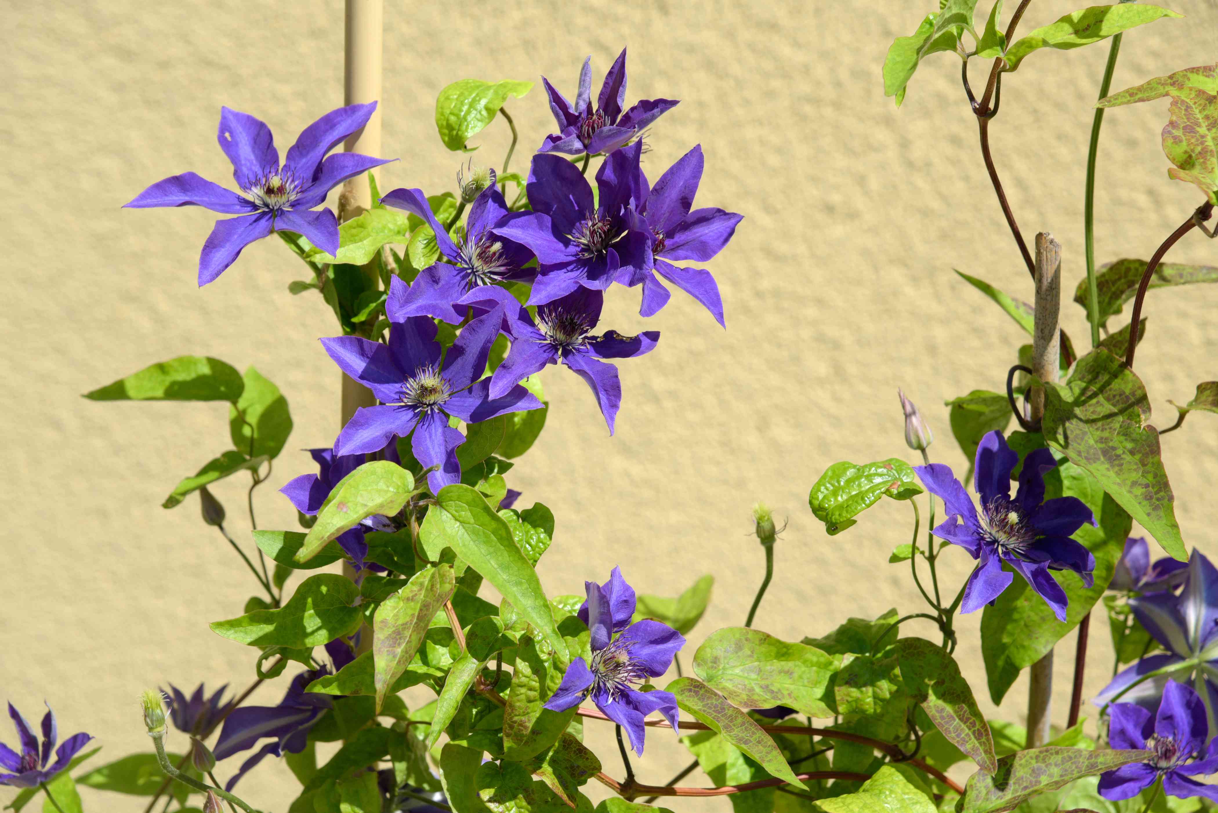 Clematis 'The President' plant with violet-blue flowers growing on bright green vine in sunlight