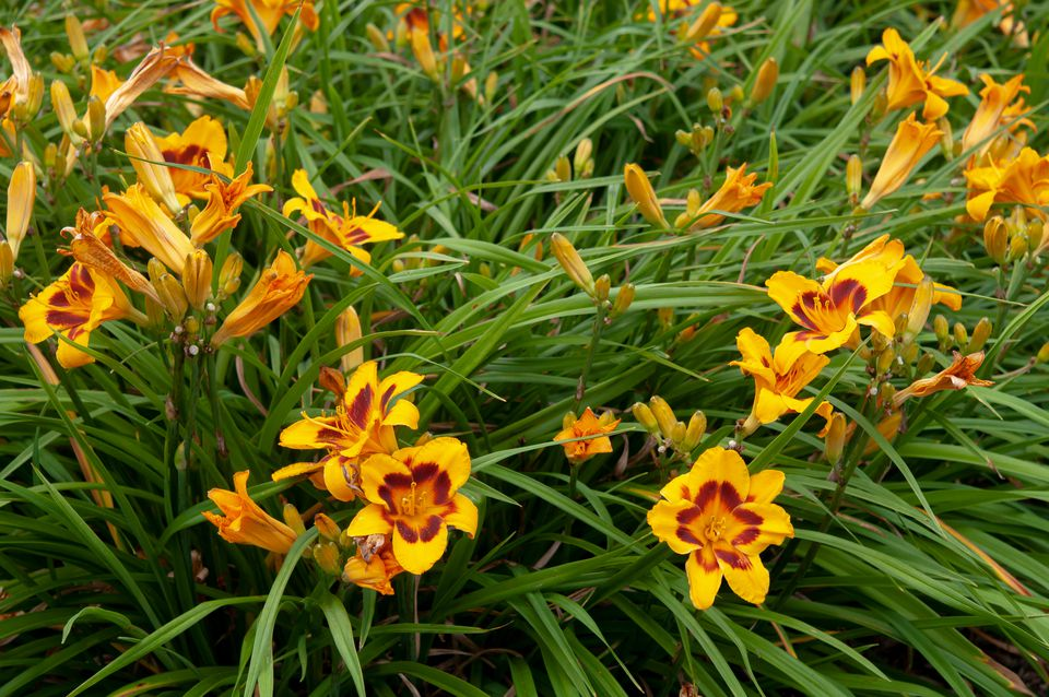 Black-eyed susan daylilies with long leaves and yellow and red flowers