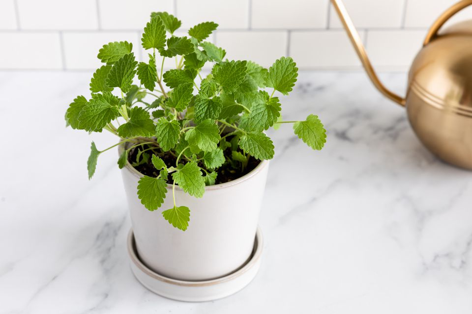 catnip plant next to a watering can