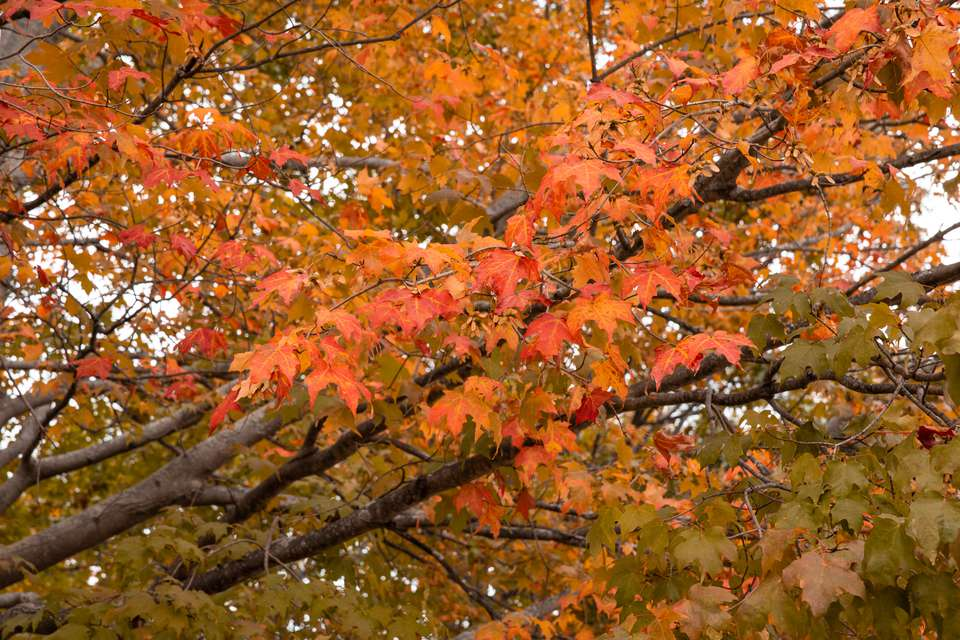 Maple tree with orange foliage