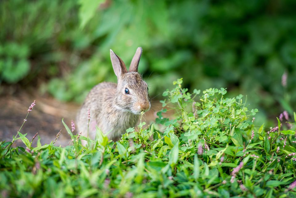 rabbit nibbling in a garden