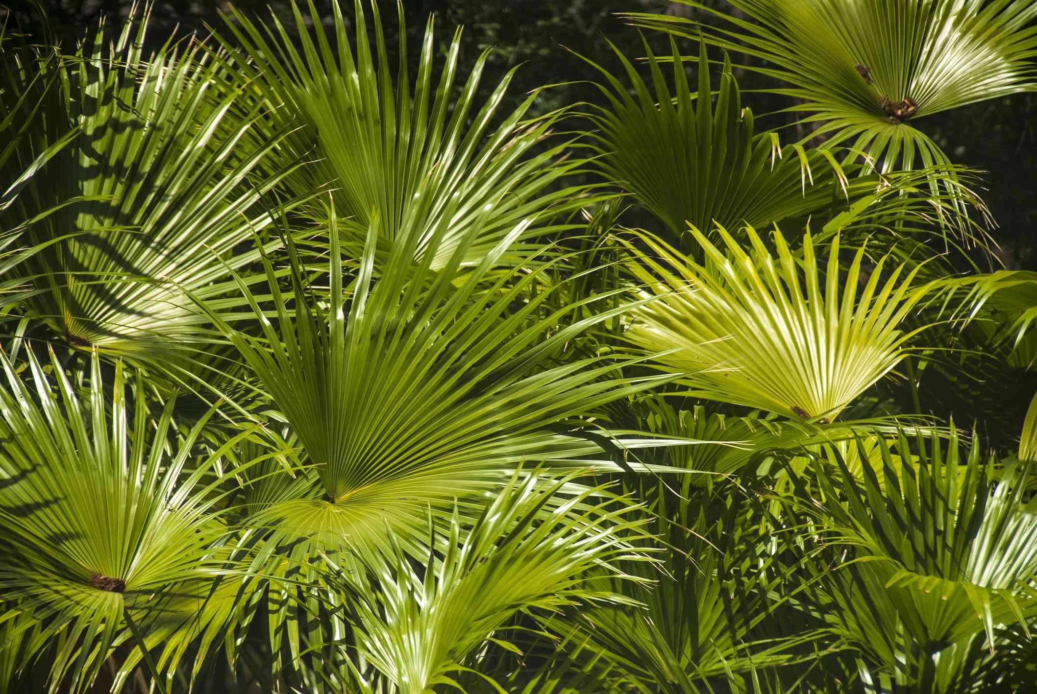 Dwarf palmetto (Sabal minor) forest.