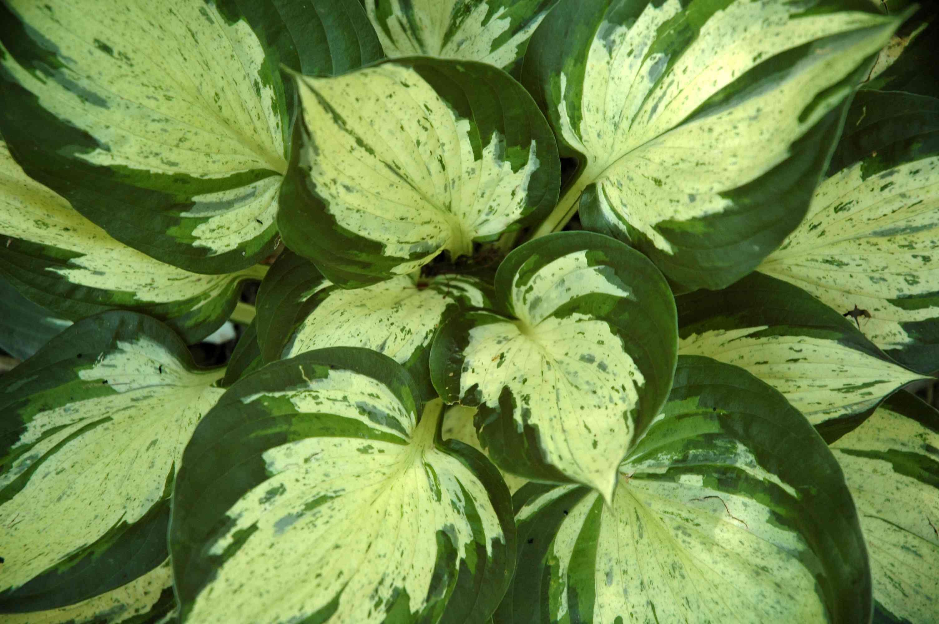 Hosta 'Revolution' foliage close up