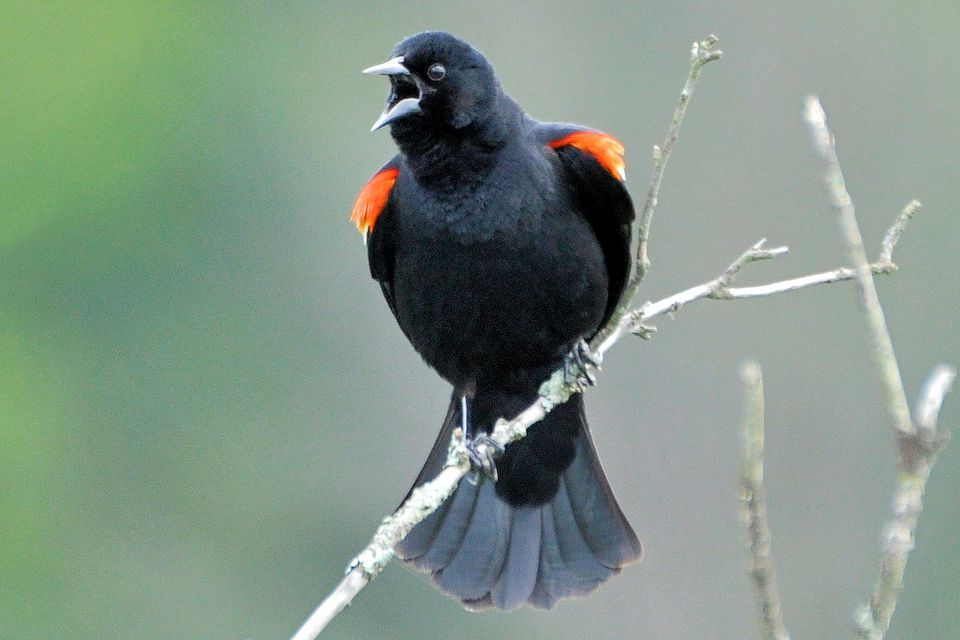 Red-Winged Blackbird Singing and Displaying